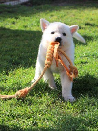 berger blanc suisse puppies - white swiss shepherd puppies