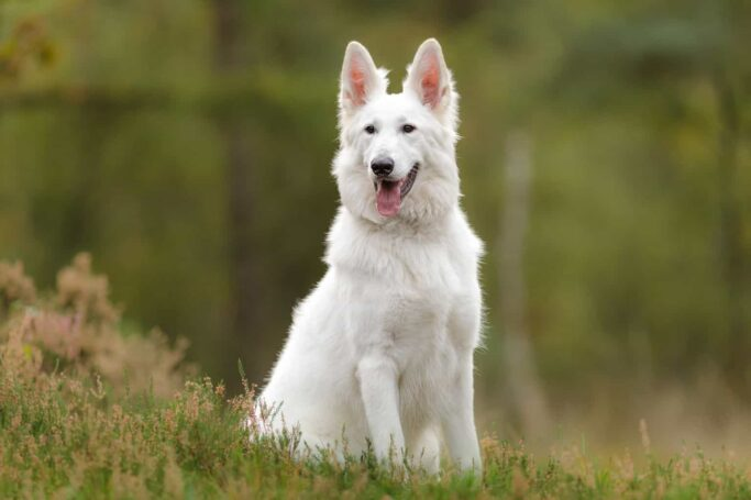 berger blanc suisse - white swiss shepherd