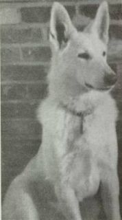 first berger blanc suisse - white swiss shepherd dogs