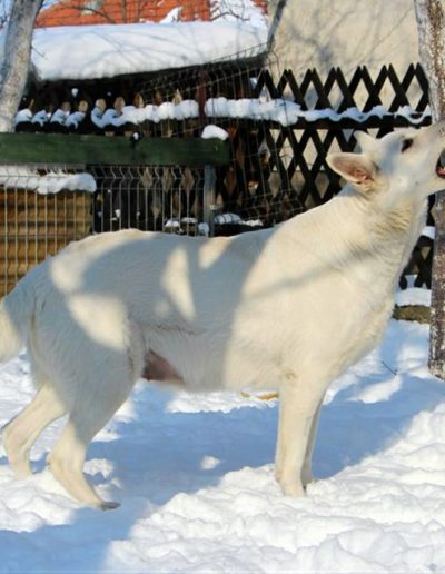 white swiss shepherd 23