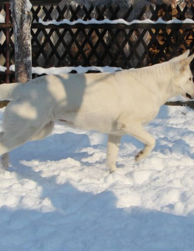 white swiss shepherd 31