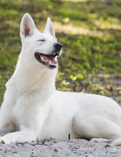 white swiss shepherd 35