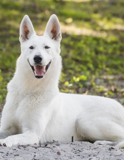 white swiss shepherd 36