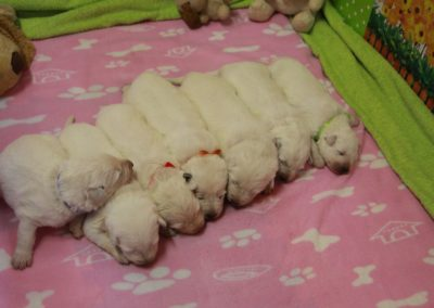 white swiss whepherd puppies