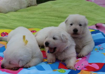 white swiss whepherd puppies 14