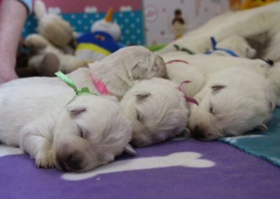 white swiss whepherd puppies 20