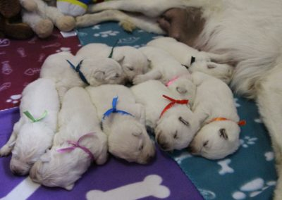 white swiss whepherd puppies 22
