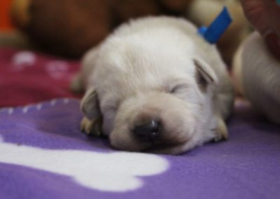 white swiss whepherd puppies 26