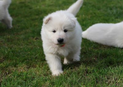white swiss whepherd puppies 40
