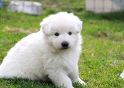 white swiss whepherd puppies 42