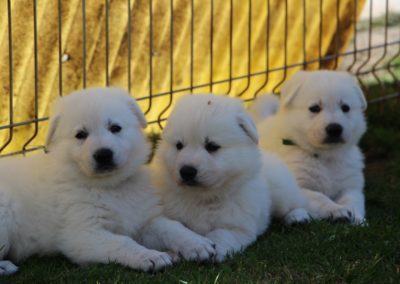 white swiss whepherd puppies 54