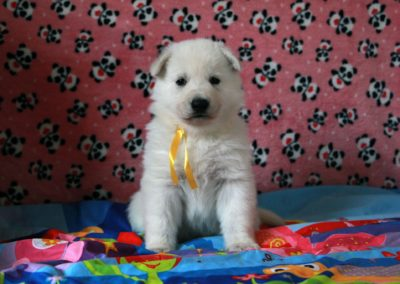 white swiss whepherd puppies 57