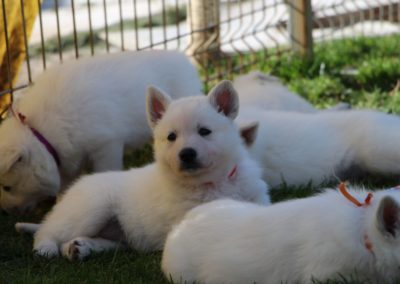 white swiss whepherd puppies 58