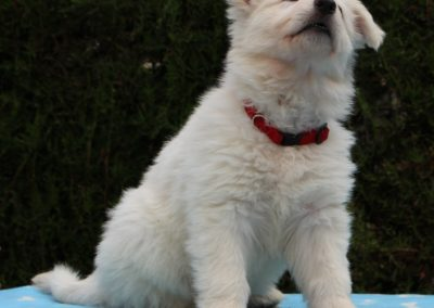 white swiss whepherd puppies 6