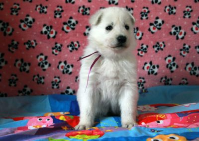 white swiss whepherd puppies 61