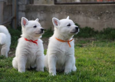 white swiss whepherd puppies 64