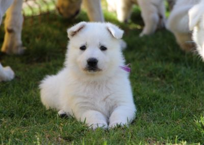 white swiss whepherd puppies 65
