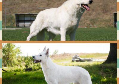 white swiss shepherd weiße schäferhund 1
