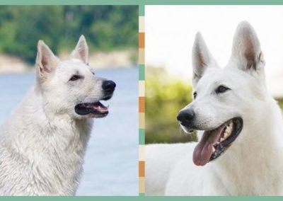 white swiss shepherd weiße schäferhund 2
