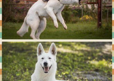 white swiss shepherd weiße schäferhund 3
