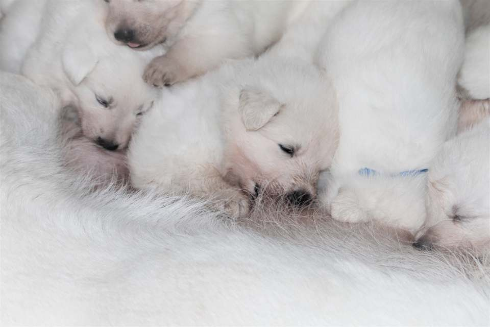berger blanc suisse puppies - white swiss shepherd puppies