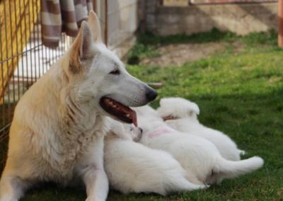 white swiss shepherd puppies